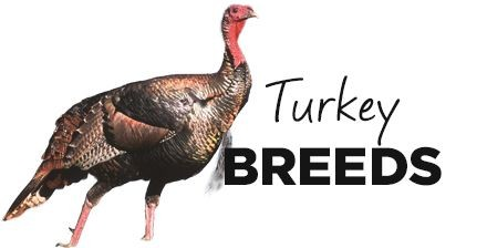 Turkey Breeds